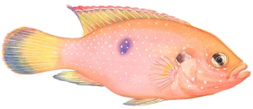 Hemichromis Guttatus