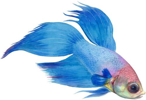 Siamese fighting fish (betta spendens)