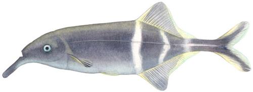 Gnathonemus Petersi