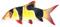 Clown Loach (Botia Macracantha)