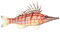 Longnosed Hawkfish